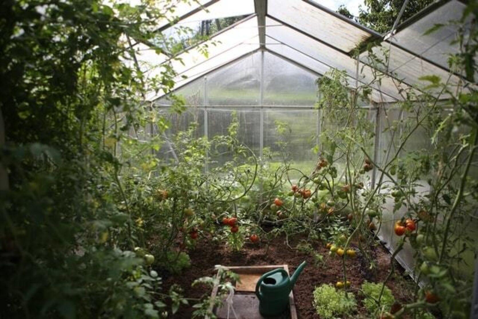 Innsiden av et drivhus fylt med planter langs veggene
