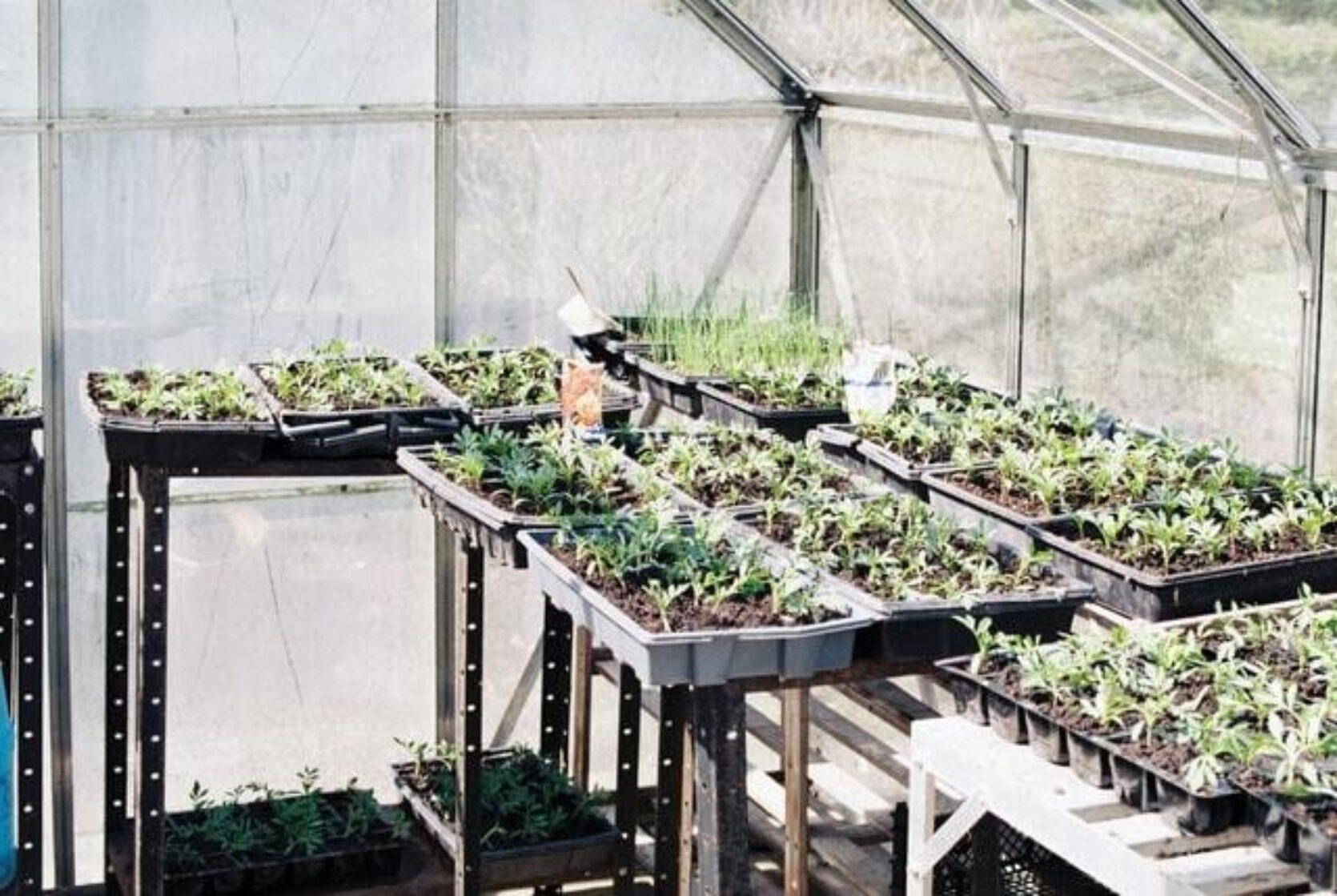 Drivhus innendørs med flere plantebrett med stiklinger på arbeidsbord